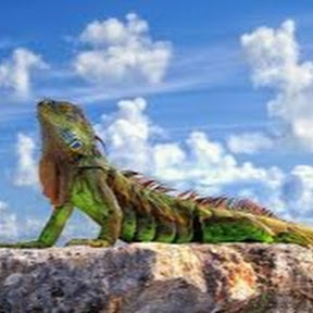 Iguana #