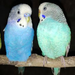 Ambala bird's
