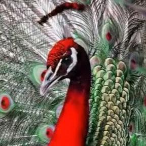 関門の紅孔雀