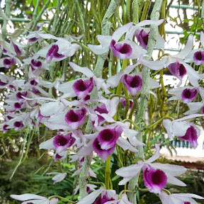 Vietnam Orchids