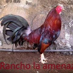 Rancho la Amenaza gallos finos
