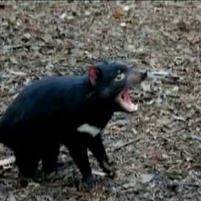 Tasmanian devil - Topic
