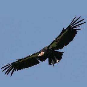 Cali Condor
