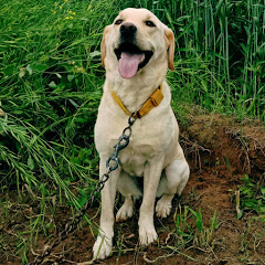 Labrador Retriever Jimmy