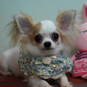 Chó đẹp DatViet