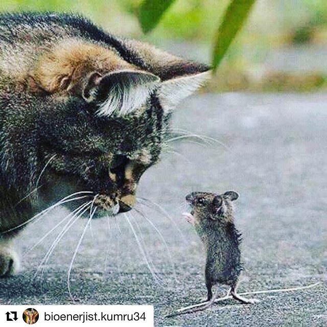 #Repost @bioenerjist.kumru34 with @get_repost ・・・ Kedi korkusundan devamlı endişe içinde yaşayan bir fare vardır. Büyücünün biri; fareye acır ve onu bir kediye dönüştürür. Fare, kedi olmaktan son derece mutlu olacağı yerde bu kez de köpekten korkmaya başlar. Büyücü bu kez onu bir kaplana dönüştürür. Kaplan olan fare, sevineceği yerde avcıdan korkmaya baslar. Büyücü bakar ki, ne yaparsa yapsın farenin korkusunu yenmeye imkan yok. Onu eski haline döndürür. Ve der ki; 'Sen cesaretsiz ve korkak birisin. Sende sadece bir farenin yüreği var. O yüzden ben sana yardım edemem.' Ünlü yazar Shakespeare, bu konuda şöyle diyor: 'İnsanların çoğu sevmekten korkuyor, kaybetmekten korktuğu için. Düşünmekten korkuyor, sorumluluk getireceği için. Konuşmaktan korkuyor, eleştirilmekten korktuğu için. Yaşlanmaktan korkuyor, yaşının kıymetini bilmediği için. Unutulmaktan korkuyor, dünyaya iyi bir şey vermediği için. Ve ölmekten korkuyor, aslında yaşamayı bilmediği için ❤️💚💜🌹 #düşüncegücü #düşünce #pozitifyaşam #olumludüşün #korku#güvensizlik#bilinç#bilinçaltı#terapist#enerjiterapisi#bioenerji#bioenerjist#takıntı #enerjidengeleme#aura #blokaj#blokajtemizliği#blokajarındırma