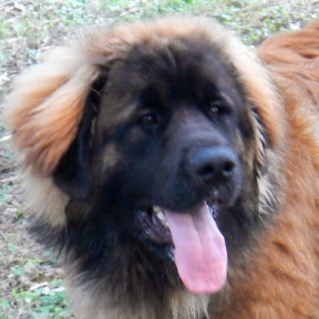 Leonberger Breed