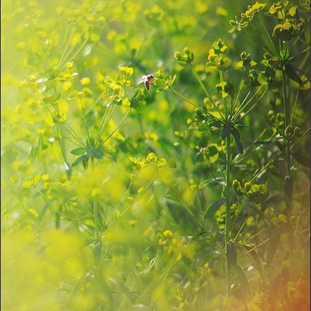 💛Свежесть и бодрость зеленого и желтого💚 💛 💚 💛 #tv_flowers #helios40_2 #35photo #гелиос40 #thedreaminglens #the_gallery_of_magic #bokeh #bokeh_bliss #bokeh_kings #dofnature #dof_brilliance #dof_addicts #flowers #summer #kings_insects #magical_shotz #charming_nature_ #pretty_shotz #fleur_noblesse #explore_floral #bokehphotofan #raw_flowers_ #1macroshot #top_macro #macro_brilliance #splendid_dof #manuallens #oldlens