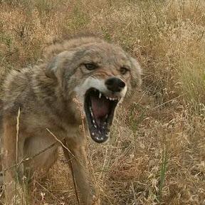 Coyote Assassins