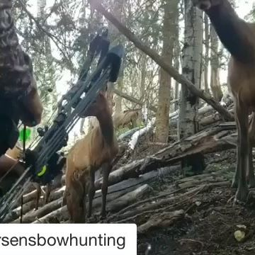 Turn it up! How close have you been? #Repost @petersensbowhunting with @get_repost ・・・ Check out this incredible, up-close, elk-hunting action captured by Bowhunting contributor @bowhuntress88! #elkhunting #elk #archery #bowhunting #spotandstalk #primearchery