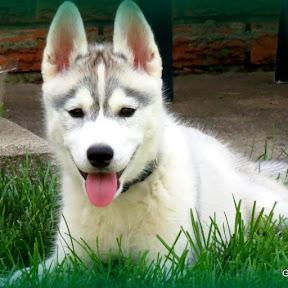 Siberian Husky - Topic