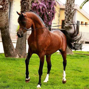 Superb Arabian Horses