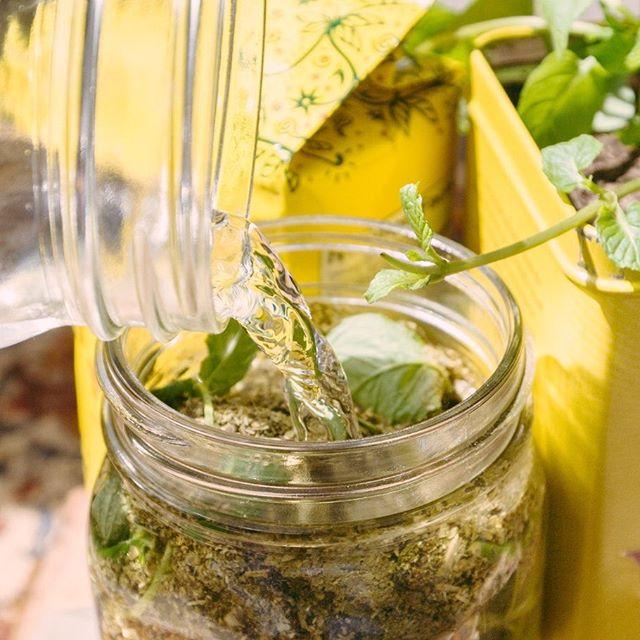 DIY Guayaki Sun Tea Kenna Allison