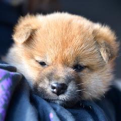 柴犬の「おはぎ」