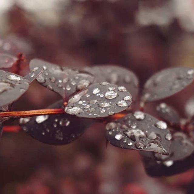 W kroplach deszczu ☔📸 #kropledeszczu #roślina #krzew #lato #pochmurno #klimat #polska #raindrops #plant #shrub #summer #cloudy #climate #poland #photography