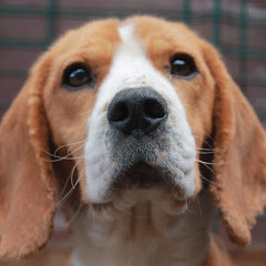 Caceria Beagle Chile