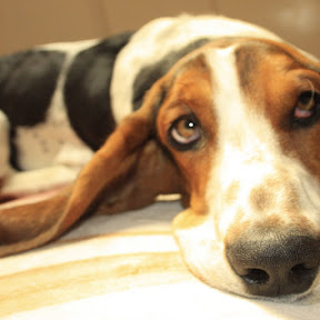 Basset Hound - Topic
