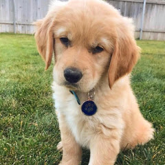 Sammie the Golden