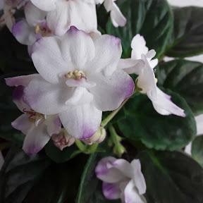 Mis violetas africanas