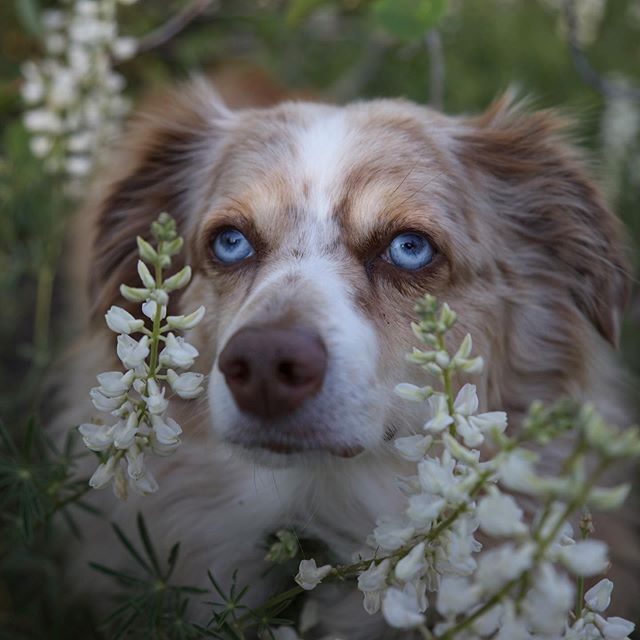 My handsome boy in the wildflowers.  #tahoeaussies #laketahoe #tahoe #tahoenorth #renotahoe #weeklyfluff #wildflowers #dogsandflowers #adventure #hiking #hike #hikingadventures #hikingdogsofinstagram #dogsthathike #optoutside #bestwoof