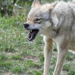 Лютый Волк
