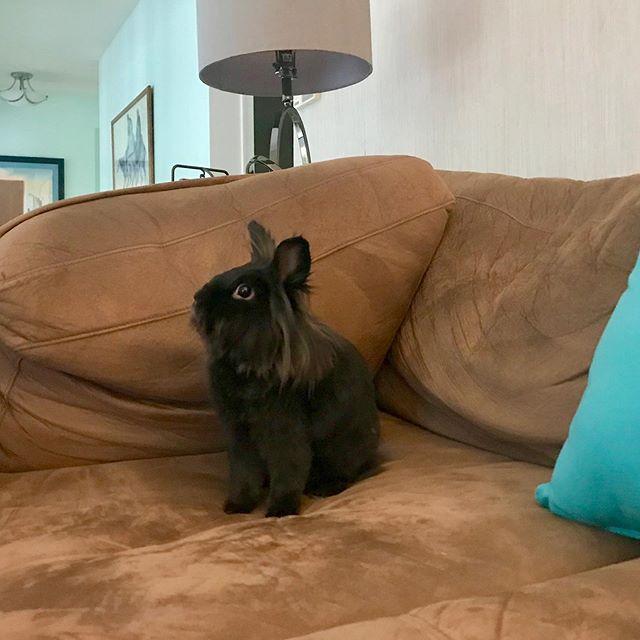 Smokey exploring the big couch downstairs 🛋🏞🐰🐾 #houserabbit #lionheadbunny #bunniesunited #cagefreebunny #crueltyfree 💚💜
