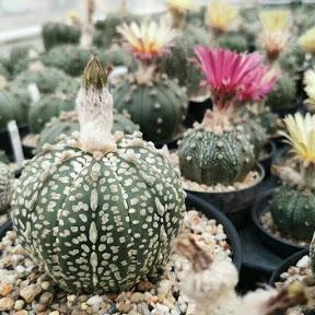 Hana Cactus
