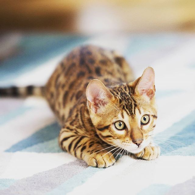 Superb look ♥ Check out the BIO for best cat videos ♥  #cat #cats #pets #petstagram #petphotography #cutest #cute #adorable #cutecats #catlovers #kitten #instacat #catstagram #catsofinstagram #catlover #kitty #lovecats #meow #catlove #kittycat #cats_of_instagram #caturday #catoftheday #likeforlike #follow2follow #like4like