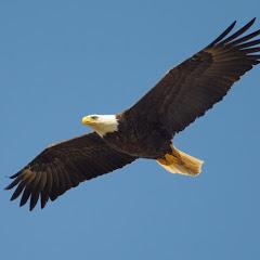 Mαύρος αετός ΑΕΚ