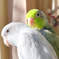 Peekaboo Parrots