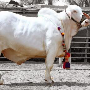 Kolkata Cow Mandi