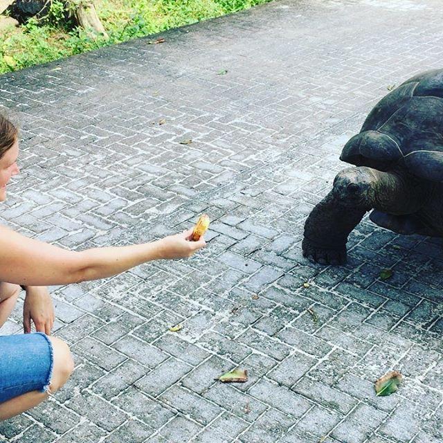 Diese Tiere sind der Hammer. Am liebsten würde ich mir eine anschaffen 😅 #hannahsiebern #autorenleben #seychellen #flitterwochen #riesenschildkröte
