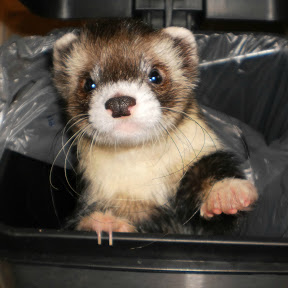 Joey the Trained Ferret