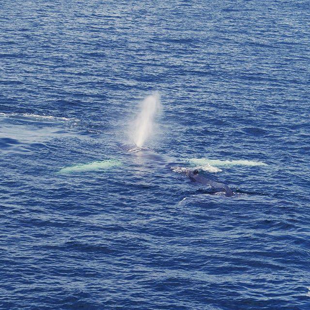 Humpbacks in the bay #capecod — #whale #whaleofatime #humpbackwhale #labordayweekend #happybirthdaytome