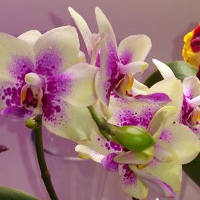 Елена Шилова про орхидеи для друзей