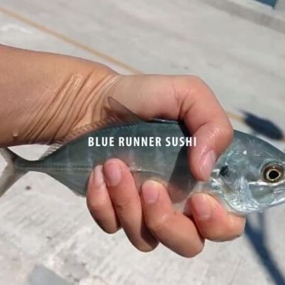 Turning baitfish into sushi!  Full video on YouTube  #sushi #sushiporn #sushilover #floridafishing #floridaseafood #food #foodporn