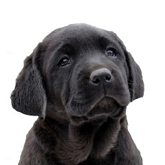 Elite Black - The Labrador