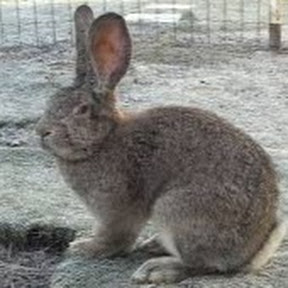 ارانب حجازي Hgazy rabbits