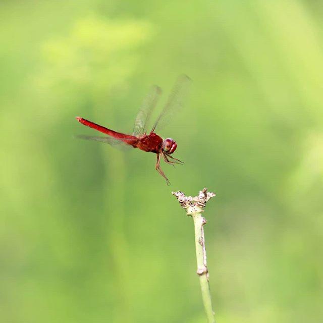 Landing bro #landing #macrophoto #dragonfly