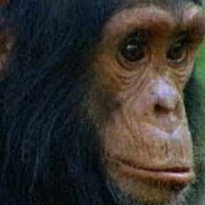 Among the Wild Chimpanzees - Topic