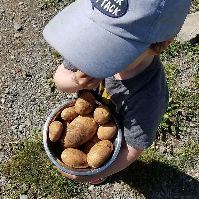 Récolte de patates de V. 😁😁 Beaucoup plus de plans de patates prévus l'année prochaine! 😍😍