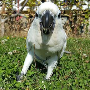 ŞahGaGa Cockatoo