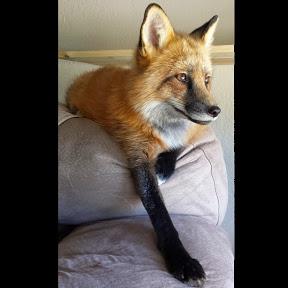 Loki the Red Fox