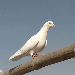 pigeons Breeder