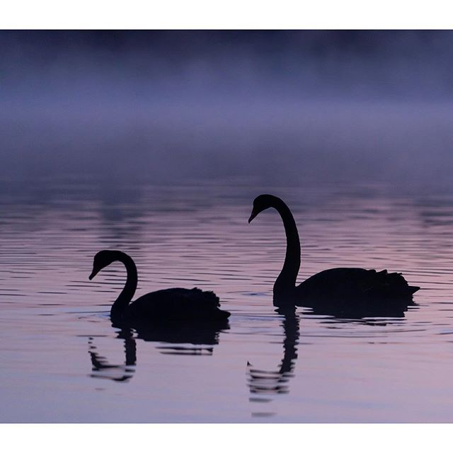 """Black swans (Cygnus astratus) on a misty lake . . . """"The black swan (Cygnus atratus) is a large waterbird, a species of swan which breeds mainly in the southeast and southwest regions of Australia. Within Australia they are nomadic, with erratic migration patterns dependent upon climatic conditions. They are monogamous breeders, and are unusual in that one-quarter of all pairings are homosexual, mostly between males. Black swans are mostly black-feathered birds, with white flight feathers. The bill is bright red, with a pale bar and tip; and legs and feet are greyish-black.  The black swan is almost exclusively herbivorous, and while there is some regional and seasonal variation, the diet is generally dominated by aquatic and marshland plants. The black swan's role in Australian heraldry and culture extends to the first founding of the colonies in the eighteenth century. It has often been equated with antipodean identity, the contrast to the white swan of the northern hemisphere indicating 'Australianness'. The black swan is featured on the flag, and is both the state bird and state emblem of Western Australia; it also appears in the Coat of Arms and other iconography of the state's institutions."""" (wikipedia)  #birdbox #birder #birdlady #birdlife_insta #bird_watchers_daily #australianwildlife #australianbirds #australianbirdphotography #australiananimals #wildlife_shots #wildlife_captures #wildlifebiologist #wildlifeprotection #wildlifecentral #wildlifepage #wildlifefriend #wildlifeshots #birds_private #birds_brilliance #birds_matter #birds_nature #birdshots #bird_watchers_daily #birdwatching #birdwatchers #birdphotography #naturephotography #naturelover_gr #natureiscool #natureislife @birdlifeoz @birdsofaustralia @wildmelbourne @wildlifevictoria @natgeo_australia @natgeoau @natgeoyourshot @natgeowild"""