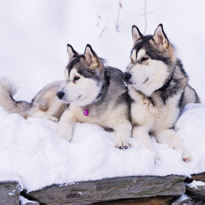 The Malamute Pack