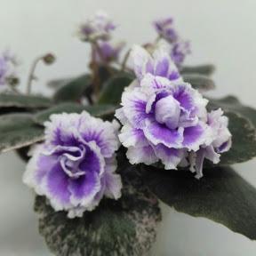Мир комнатных цветов Светланы Романовой