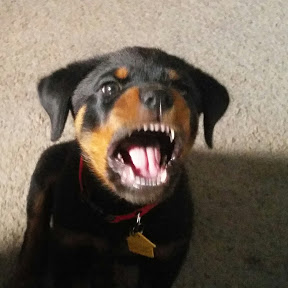Macho the Rottweiler