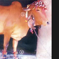 gir cow saurashtra