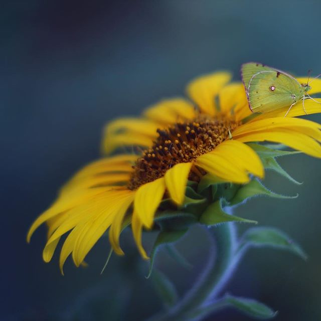 🌻 Лето без подсолнухов и вовсе не лето🌻 💛 💛 💛 #tv_flowers #подсолнухи #flowers #500px #35photo #oldlens #thedreaminglens #kings_flora #9vaga_3flowers9 #nature #bokeh_bliss #bokeh_shotz #pretty_shotz #charming_nature_ #flora_addict #bns_flowers #flowerstagram #sunflowers #global_ladies #fleur_noblesse #explore_floral #favv_flowers #ig_discover_petals #macro #макро #dofnature #подсолнухиалматы